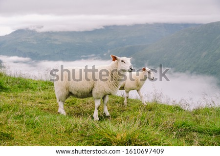sheeps on mountain farm on cloudy day. Norwegian landscape with sheep grazing in valley. Sheep on mountaintop Norway. Ecological breeding. Sheep eat boxwood. Ewe sheep grazing on pasture in mountain. #1610697409