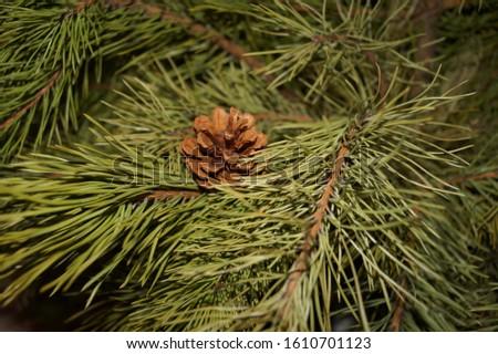 fir christmas fir cone green #1610701123