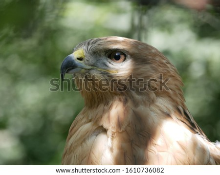 Portrait of a hawk with open yellow eyes and hooked beak on a blurred background of green foliage in the shade of trees on a Sunny summer day.