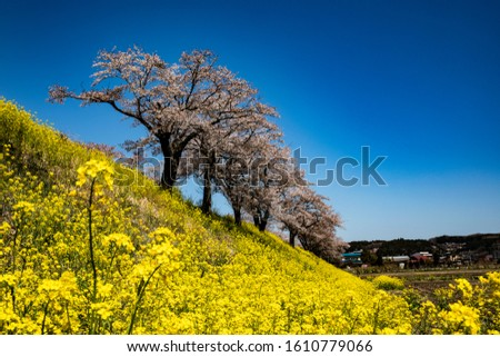 Beautiful blooming rape blossoms and cherry blossoms #1610779066