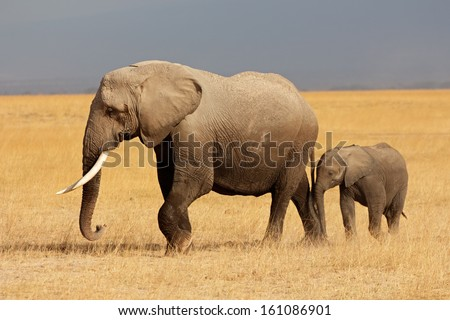 African elephant (Loxodonta africana) cow with young calf, Amboseli National Park, Kenya  Royalty-Free Stock Photo #161086901