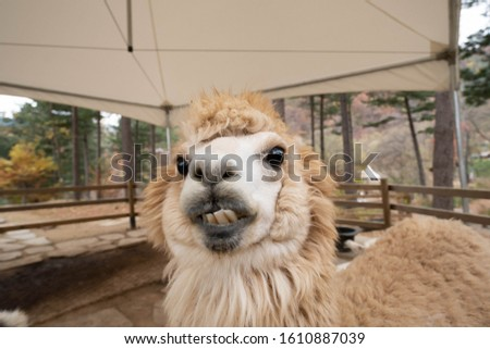 Cute expression of white alpaca smiling at the camera. Close up face of llama showing its teeth at the farm.