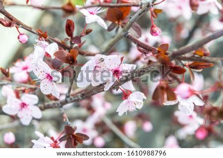 Pink Flowering Cherry Blossom Tree #1610988796
