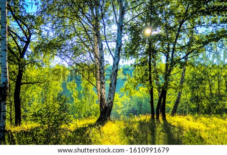 Forest birch tree sunlight backlight. Birch tree forest scene. Birch forest view. Forest scene #1610991679
