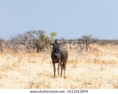 Namibia, Africa. Gnu at Etosha National Park. Namibia June 2019 #1611052894