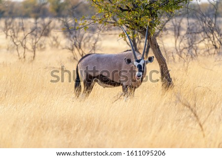 Namibia, Africa. Oryx at Etosha National Park. Namibia June 2019 #1611095206