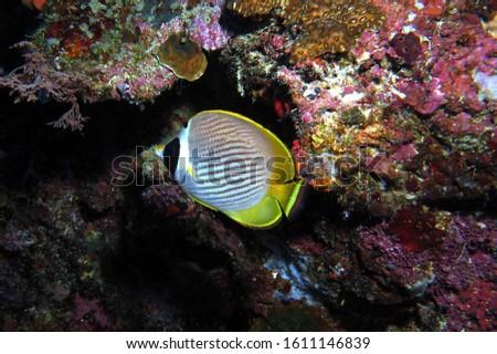 Raccoon butterflyfish Crescent-masked butterflyfish Cebu Philippines