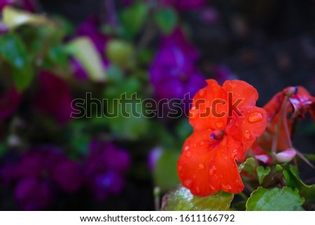 Blurred bright red flower with water drops on background of violet lawn. Defocused violet, purple and red flowers of African impatiens seeds, Colorful Garden Balsam Flo. Concept hello summer. #1611166792