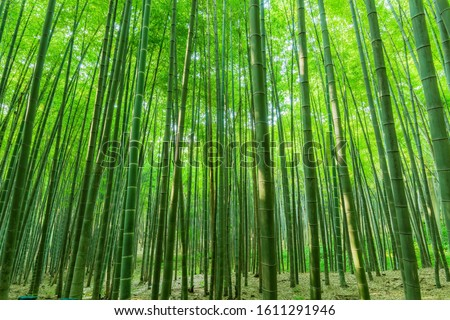 Background material bamboo garden bamboo forest bamboo pole #1611291946