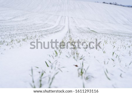 Wheat field covered with snow in winter season. Winter wheat. Green grass, lawn under the snow. Harvest in the cold. Growing grain crops for bread. Agriculture process with a crop cultures #1611293116