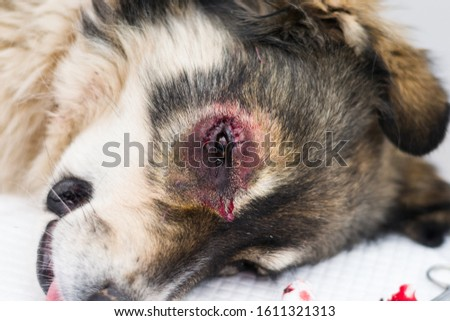 sheperd dog with entropion  surgery at the veterinary clinic #1611321313