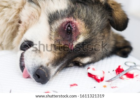 sheperd dog with entropion  surgery at the veterinary clinic #1611321319