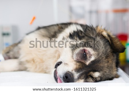 sheperd dog with entropion prepared for surgery at the veterinary clinic #1611321325
