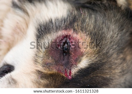 sheperd dog with entropion  surgery at the veterinary clinic #1611321328