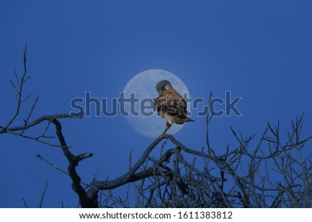 It's a composite picture. the synthesis of hawks from the moon and trees.