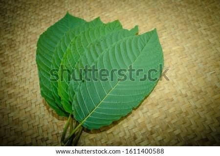 Kratom leaves Mitragyna speciosa leaf natural herbs Asian herbs, Thai herbs #1611400588