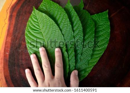 Kratom leaves Mitragyna speciosa leaf natural herbs Asian herbs, Thai herbs #1611400591