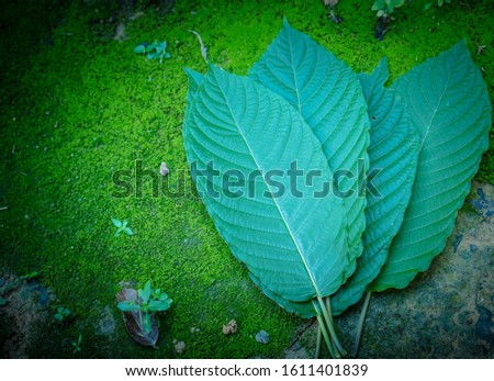 Kratom leaves Mitragyna speciosa leaf natural herbs Asian herbs, Thai herbs #1611401839