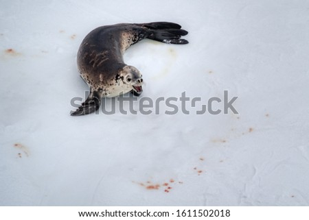 The seal on the ice, viewed from high angle with copy space. Wild animal life of Antarctica nature picture