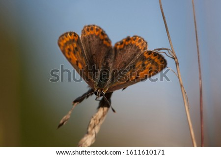 Small Copper, American Copper or Common Copper (Lycaena phlaeas) butterfly #1611610171