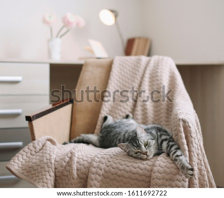 Home pet cute kitten cat lying in the chair with funny looking close up photo. Cute Scottish straight cat llying on armchair, indoors. Cat Portrait. Cute cat indoor shooting.