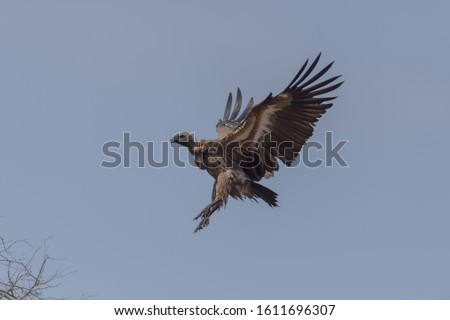 Vulture flying, airborne vulture, South African vulture, white backed vulture.