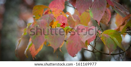 Dogwood tree with berries in fall with beautiful red colored leaves #161169977