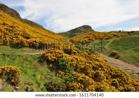 Yellow gorse on the flanks of Arthur's Seat in Holyrood Park, Edinburgh, Scotland #1611704140