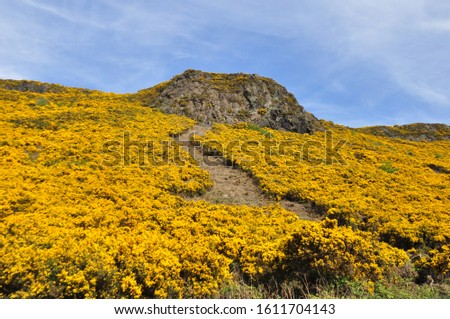 Yellow gorse on the flanks of Arthur's Seat in Holyrood Park, Edinburgh, Scotland #1611704143