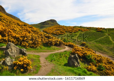 Yellow gorse on the flanks of Arthur's Seat in Holyrood Park, Edinburgh, Scotland #1611716869