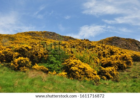 Yellow gorse on the flanks of Arthur's Seat in Holyrood Park, Edinburgh, Scotland #1611716872