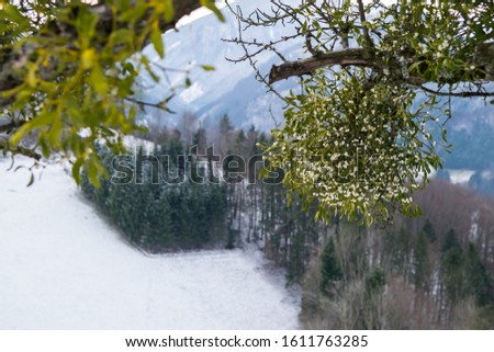 European mistletoe, Viscum album, growing on a fruit tree on the country side in the Austrian Alps, Europe.