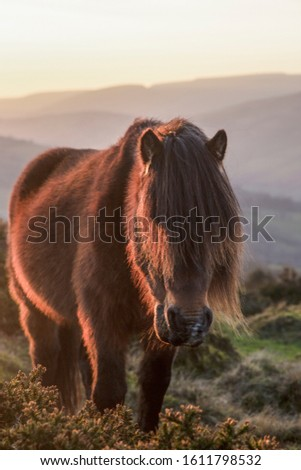 A bay Welsh Mountain pony munches on a gorse bush. #1611798532