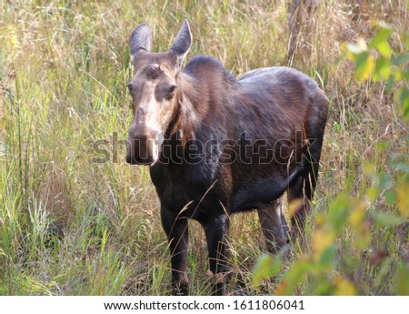 A beautiful moose wandering through a grassy meadow on a warm autumn day.  #1611806041