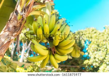 Yellow fresh ripe bananas hanging, growing on banana tree palm in Asia, Vietnam. Bunch, branch of growing bananas in the garden or plantation. Vegan, vegetarian fruits. Pisang Awak bananas in Thailand #1611875977