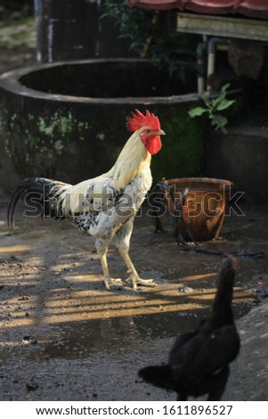 roosters with white and black hues. Roosters symbol of courage,