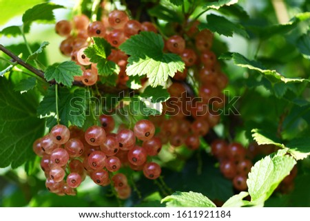 White currant. A lot of white currants on a green Bush in the garden. Summer harvest background #1611921184