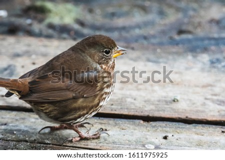 A picture of a Fox sparrow perching on the ground. Vancouver BC Canada