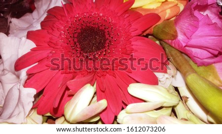A closeup pic of a beautiful red flower, blooming red, rosy and pink flower, white flower. background pic red flower tuberose