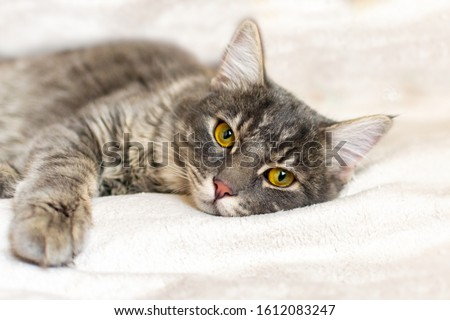 Sad sick young gray cat lies on a white fluffy blanket in a veterinary clinic for pets. Depressed illness and suppressed by the disease animal looks at the camera. Feline health background. #1612083247