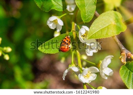 Lush sunny springtime foliage with ladybugs on a cherry tree in blossom. #1612241980