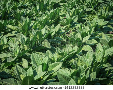 View of young green tobacco plant in field #1612282855