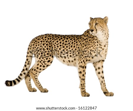 Cheetah - Acinonyx jubatus in front of a white background #16122847