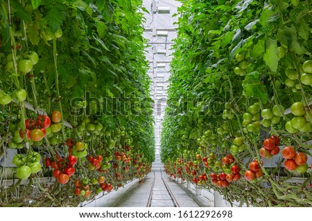 Tomatoes ripening on hanging stalk in greenhouse, Industrial greenhouse to grow tomatoes. #1612292698