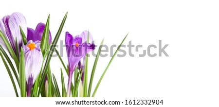 Spring Snowdrop Crocus flowers. Nature background. Horizontal long banner. #1612332904