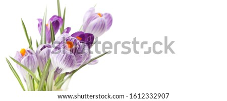 Spring Snowdrop Crocus flowers. Nature background. Horizontal long banner. #1612332907