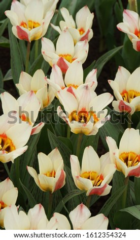 Beautiful White-Yellow Color Tulips, Green Leaves And Sun Light. Springtime Background. #1612354324