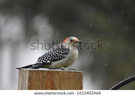 Female red bellied woodpecker in a snow globe