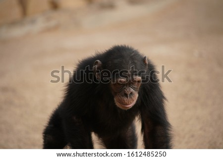 chimpanzee in zoo at saudi arabia riyadh #1612485250