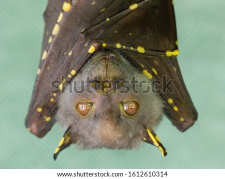 Eastern Tube nosed bat in care at The Bat Hospital, Atherton, Far North Queensland. Royalty-Free Stock Photo #1612610314
